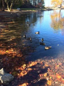 Ducks approach