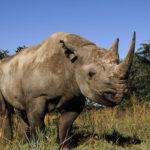 Diceros bicornis Black rhinoceros Portrait of a male