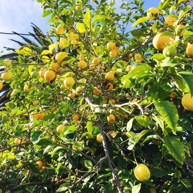 lemon tree in Santa Clara