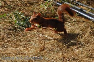 Jeune écureuil curieux.