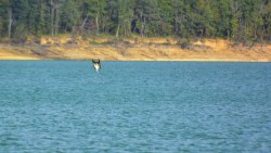 Balbuzard pêcheur au lac de Montbel.