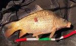 Petite carpe commune, au phénotype peu répandu dans le lac
