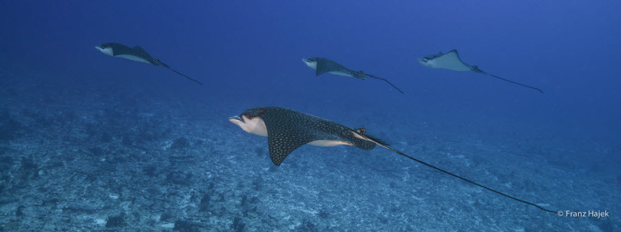 Eagle Ray Schoolsouth4