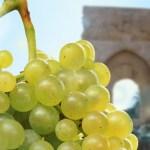 Alla scoperta dei vitigni: il Catarratto.