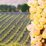 Alla scoperta dei vitigni: il Vermentino.