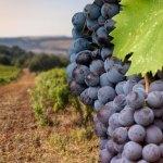 Alla scoperta dei vitigni: il Negroamaro.