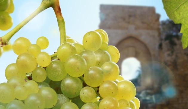 vitigno Catarratto