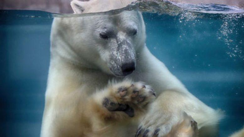 Eddy l'ours blanc