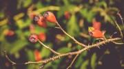 Des fruits d'églantier