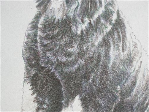 How to Draw a Dog in Colored Pencil Part 3 - Dark Umber Layer Detail 2