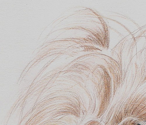 Tips for Drawing Dogs and Puppies - Long Hair Sample