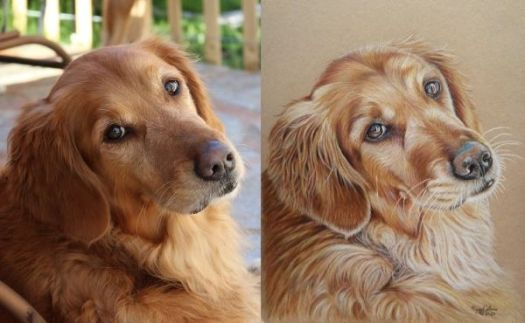 How to draw a Golden Retriever - comparing the reference photo and portrait in color to check color accuracy.