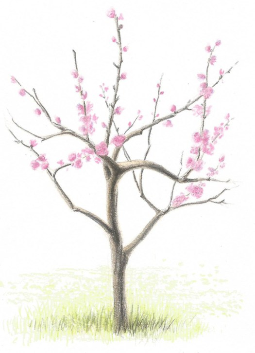 How to Draw a Flowering Tree - Finished Study