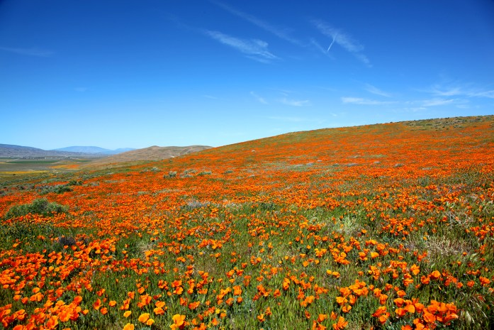 Antelope Valley Poppy Reserve in California