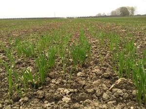 Le piantine di grano seminate e già nate