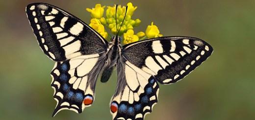 farfalla_macaone
