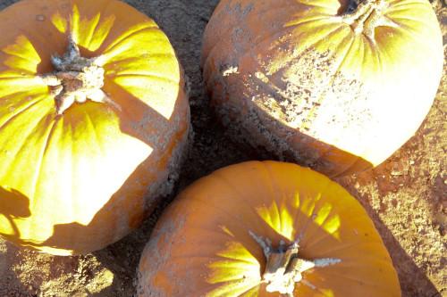 PumpkinPicking (14 of 19)