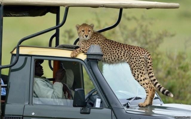Cheetah on Toyota Hilux 1