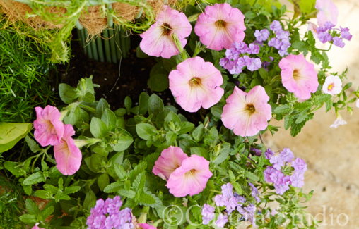 Petunias and verbena