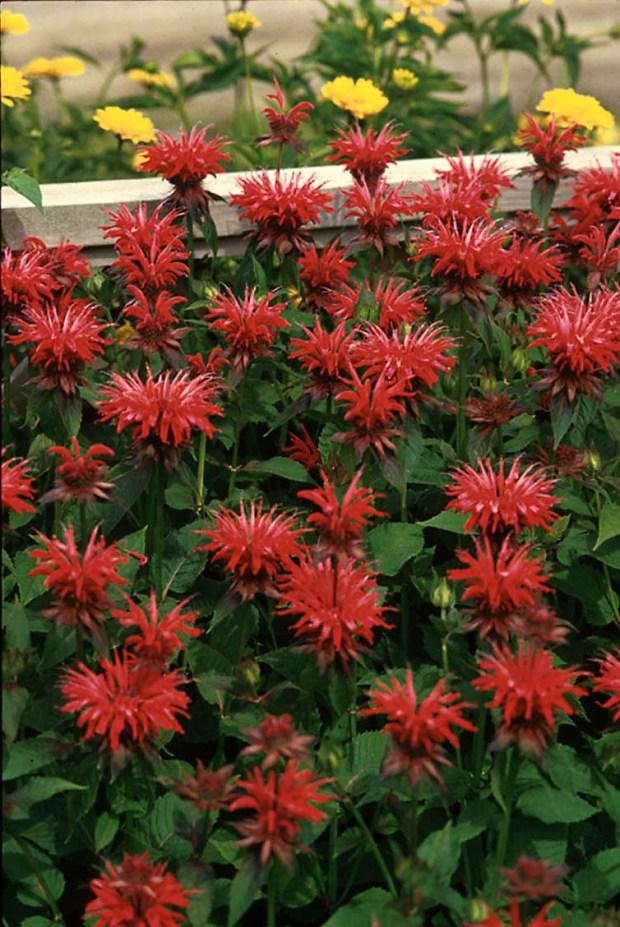 Walters Gardens Monarda Gardenview Scarlet