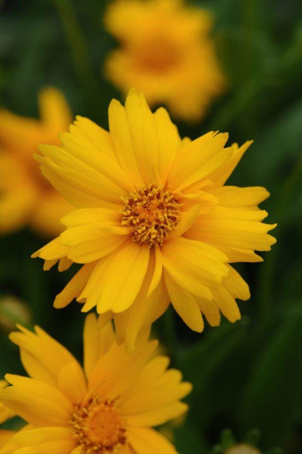 Coreopsis-SunUp-15878-KieftSeed