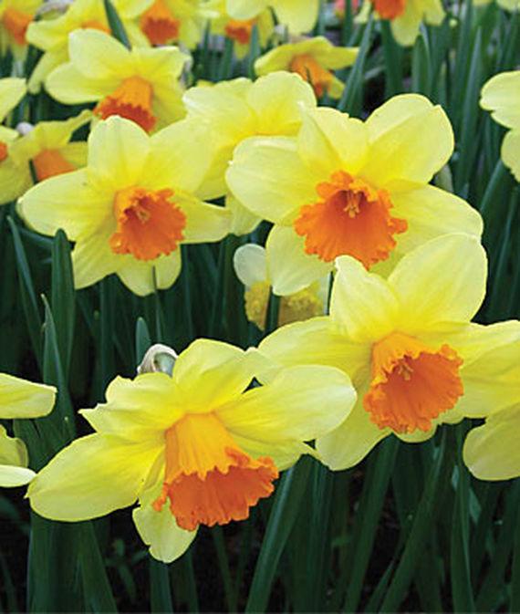 Daffodile flowers