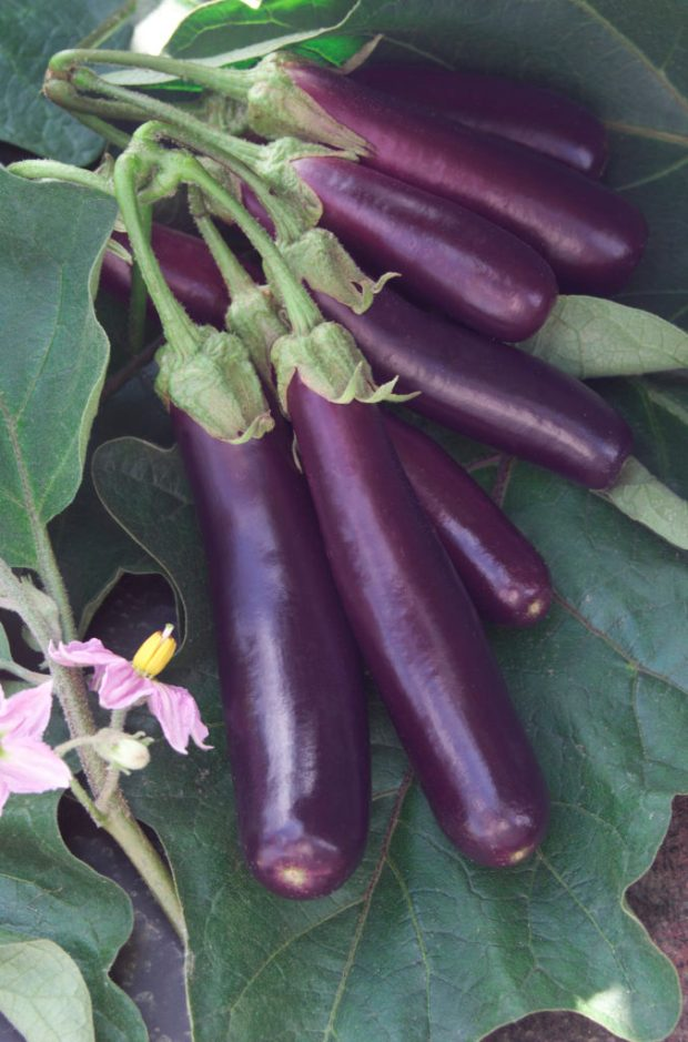 Hansel Eggplant