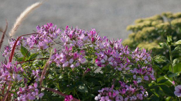 Cleome pequena rosalita bush