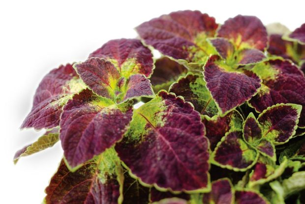 Coleus dipt in wine variety