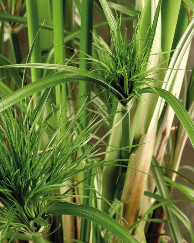 Papyrus King Tut plant