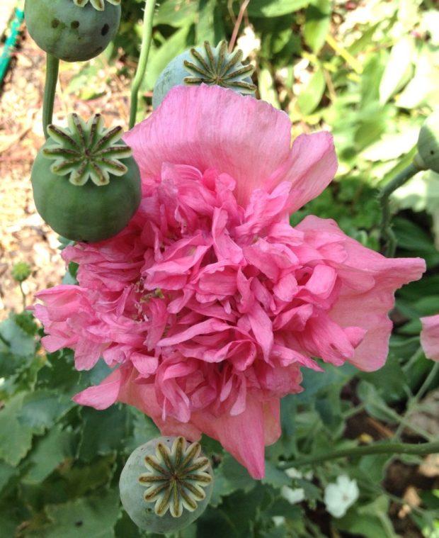 Annual pink poppy