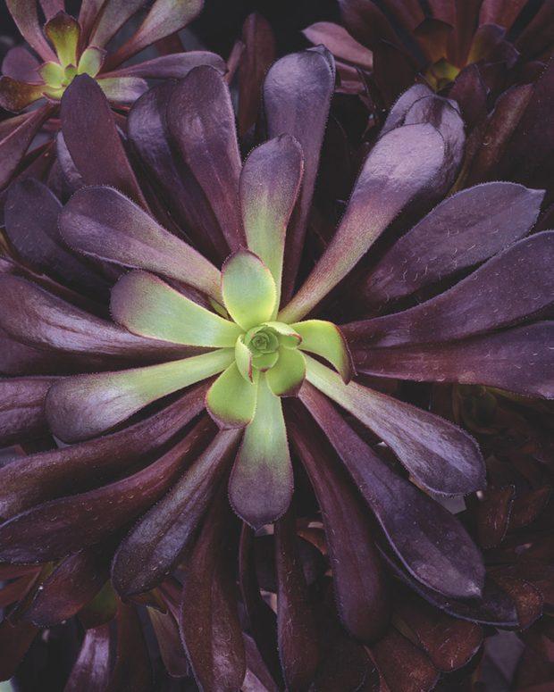 zwartkop plant in deep purple