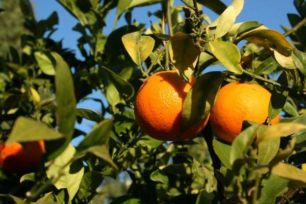 Sinaasappels uit de tuin van Casa Amigo