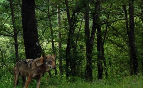 Il lupo