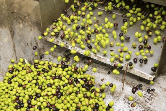 Smistamento delle olive