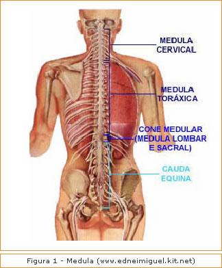 Figura 1 - Medula