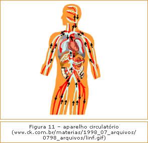 Figura 11 - Aparelho circulatório