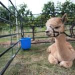 Farm animals, Alpaca, Purple Foot Festival at Casa Larga Vineyards