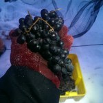 Casa Larga Vineyards ice wine harvest