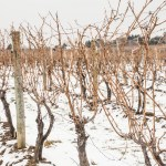 Winter Vineyards for Ice Wine and Culinary Festival at Casa Larga Vineyards
