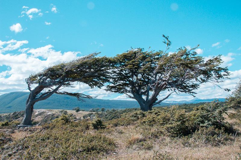 Pinguinera Terrestre - Árvores Bandeira