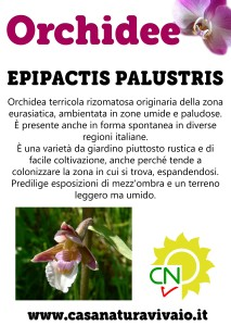 schede_orchidee_EPIPACTIS_PALUSTRIS