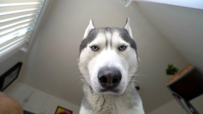 sesso cane travestito husky