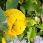 Coltivare un limone sul terrazzo, trucchi e consigli