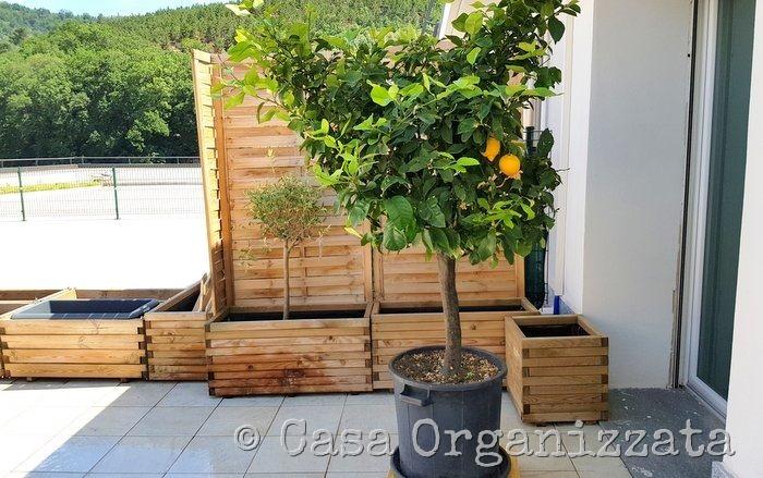 come coltivare un limone sul terrazzo