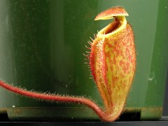 Highland Nepenthes Closeup of a trap