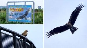 Beware of Hawks