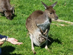 Kangaroo momma and baby
