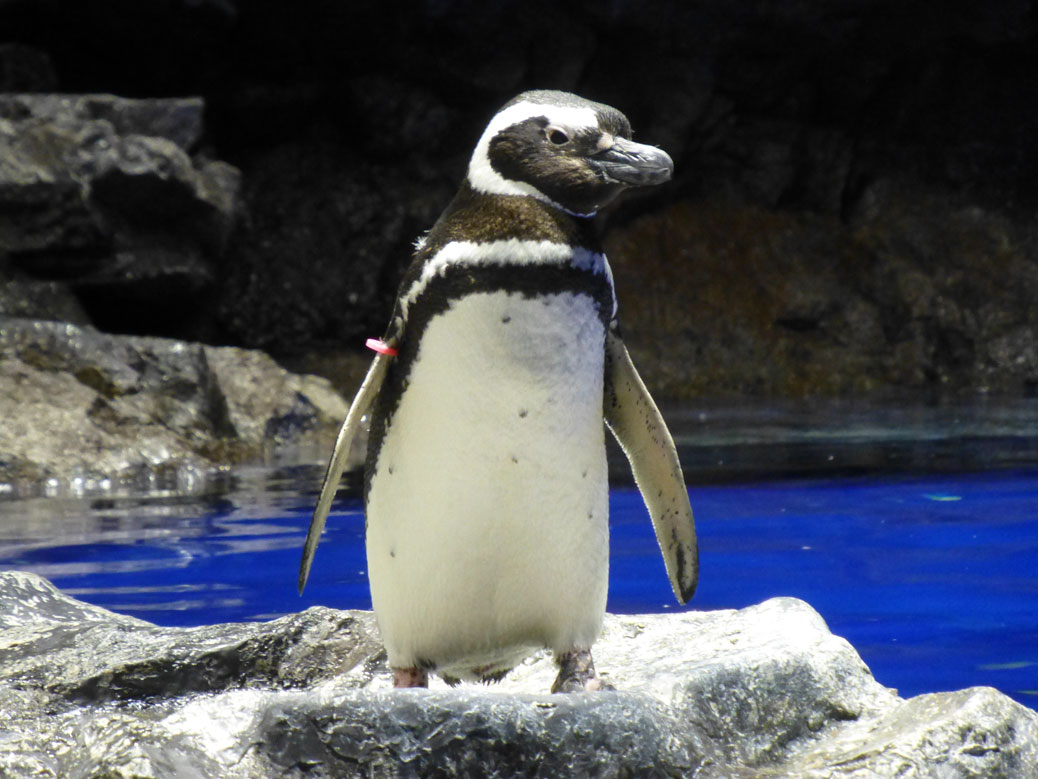 Penguin at Sumida Aquarium
