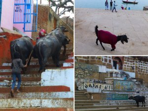 Bulls and goats just hanging out along the ghats on the Ganges